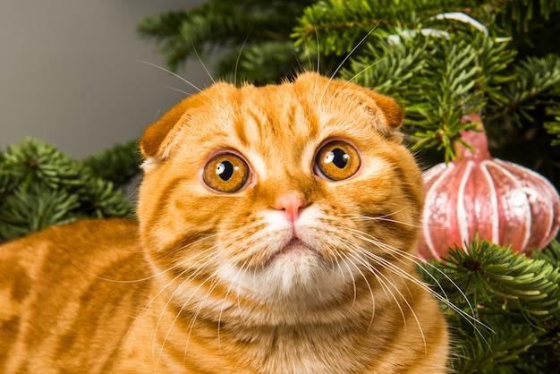 Шотландский вислоухий рыжий кот сидит возле елки