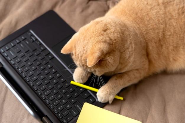 スコティッシュフォールドの赤い猫は、ラップトップとメモ帳付きのソファに横たわっています。
