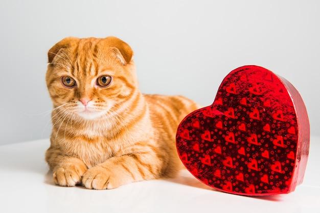 Шотландский вислоухий рыжий кот с красной коробкой в виде сердца на день святого валентина
