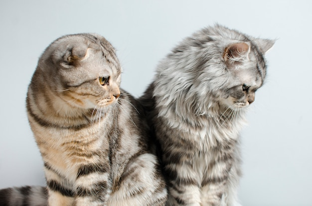 The scottish fold and scottish pristine cat sit cute on a white