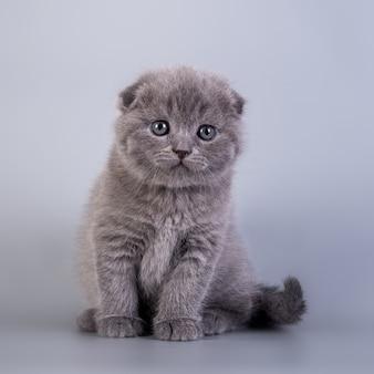 Скоттиш-фолд маленький милый котенок голубого окраса