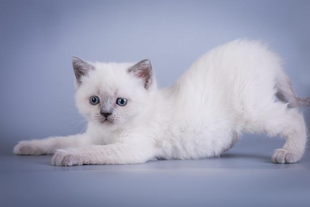 Шотландский вислоухий маленький милый котенок голубой колорпойнт белый