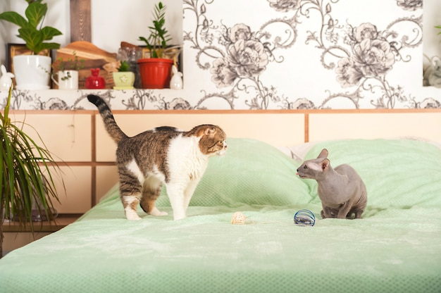 Scottish fold and sphinx in the bedroom close-up and copy space.