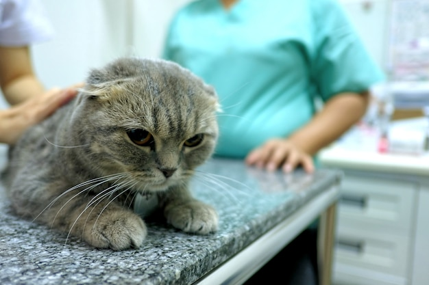 Scottish fold tabby cat visiting veterinarian for checking the health