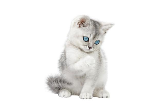 白い背景に分離された青い目をしたスコットランドの灰色の子猫
