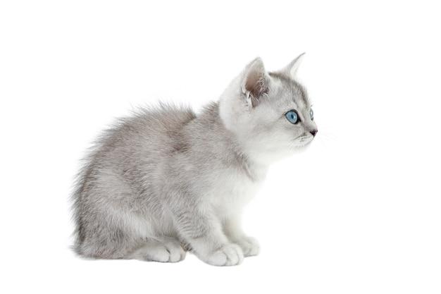 白い背景に分離されたスコットランドの灰色の子猫