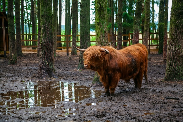 森の中の農場の土に立っているスコットランドのハイランド牛