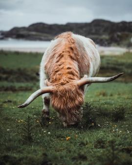 Шотландский хайленд теленок в поле