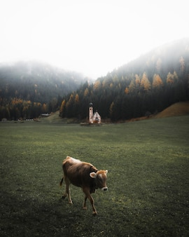Шотландский высокогорный теленок в поле