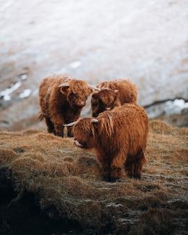 Шотландские высокогорные телята в поле