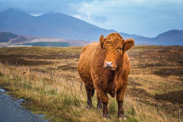 Шотландская горная корова и красивый вид