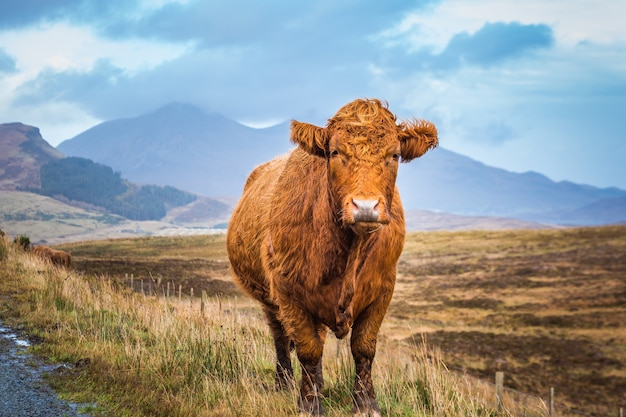 Scottish highland cow and blue sky