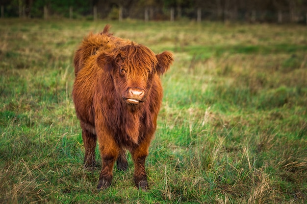 Scottish highland cow in the field
