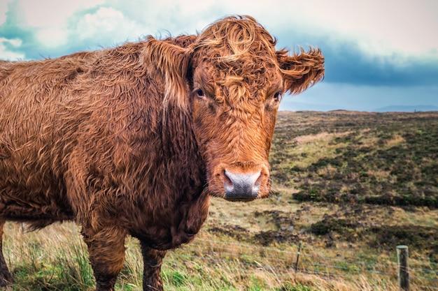 Шотландская горная корова с широким углом обзора
