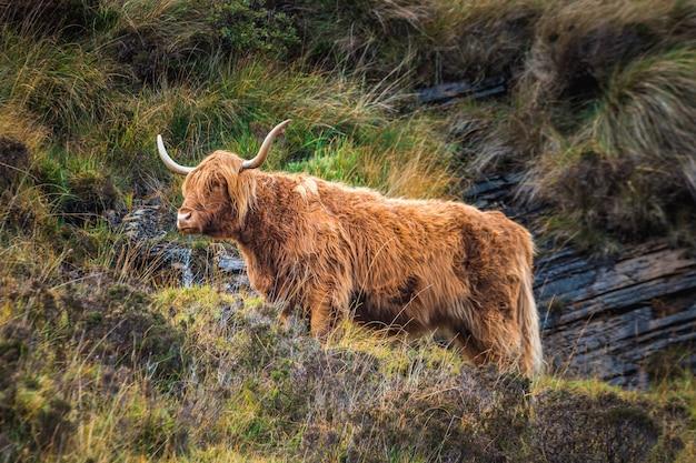 Шотландская горная корова с рогами