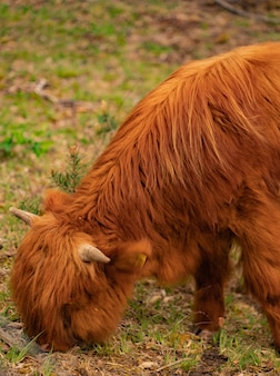 Шотландские горные коровы на пастбище.