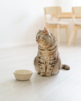 Scottish hungry cat wants to eat looking pitifully kitten siting in kitchen floor and waiting food