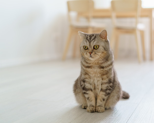 Scottish hungry cat wants to eat looking pitifully kitten siting in kitchen floor and waiting