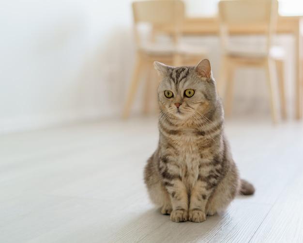 Шотландская голодная кошка хочет поесть, жалобно смотрит на котенка, сидящего на полу кухни и ожидающего
