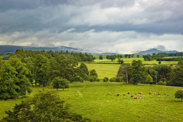 Шотландский пейзаж с коровами на лугу