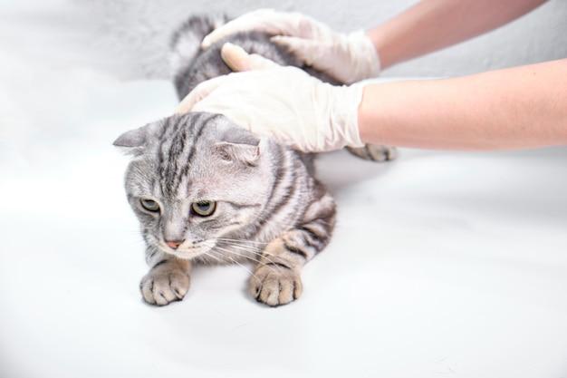 Шотландская вислоухая в ветеринарной клинике