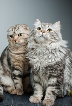 Scottish prick and scottish fold sit next to each other. animal