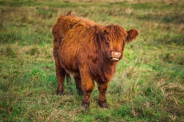 Шотландская красная горная корова