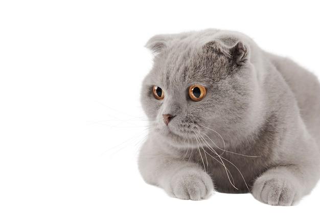 노란 눈을 가진 스코틀랜드 스코티시 폴드 회색 고양이 분리