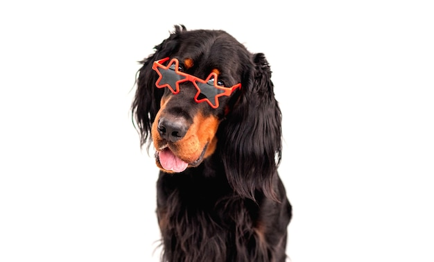 Scottish setter dog wearing red sunglasses looking at camera isolated on white background