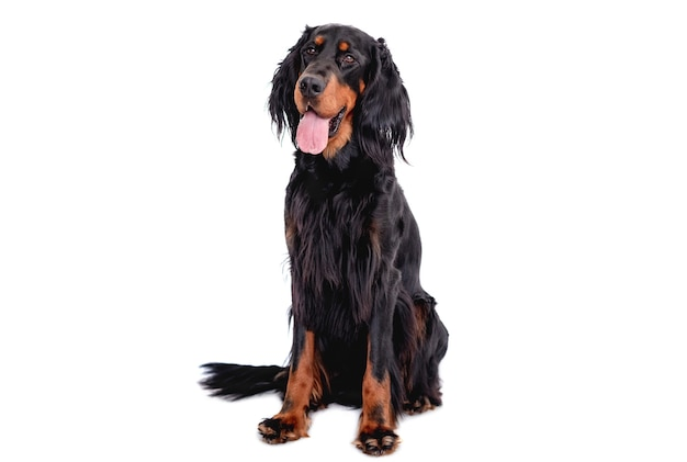 Scottish setter dog with tongue out sitting isolated on white. cute doggy portrait