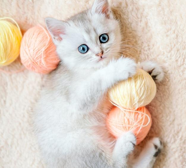 Котенок шотландской серебристой шиншиллы с голубыми глазами играет розовыми и желтыми нитками