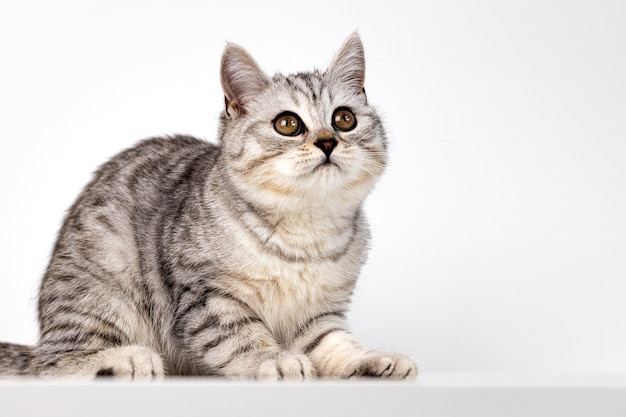 白い背景の上のスコットランドのまっすぐな猫のぶち