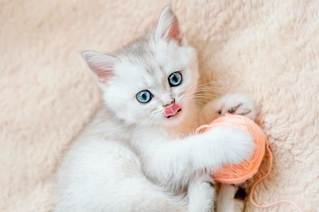 Котенок шотландской прямоухой серебристой шиншиллы с голубыми глазами и высунутым языком играет с розовым клубком ниток