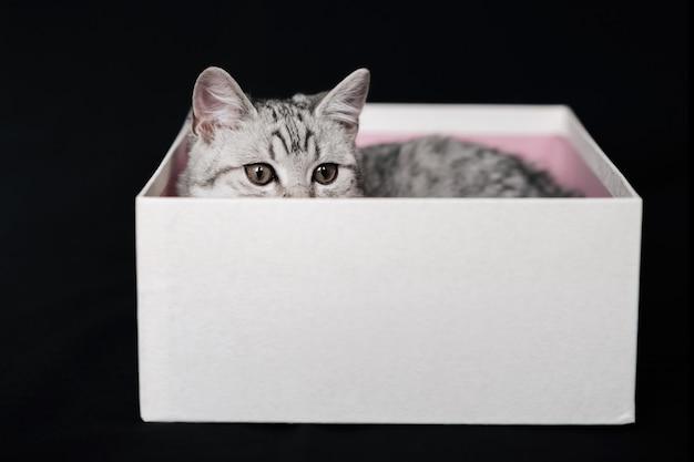 Шотландский прямой полосатый серый кот лежит в белой коробке