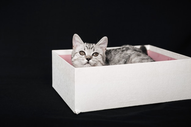 Scottish straight striped grey cat lies in a white box
