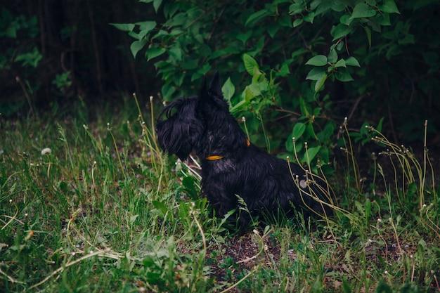 스코틀랜드 테리어는 푸른 잔디에서 포즈 프리미엄 사진