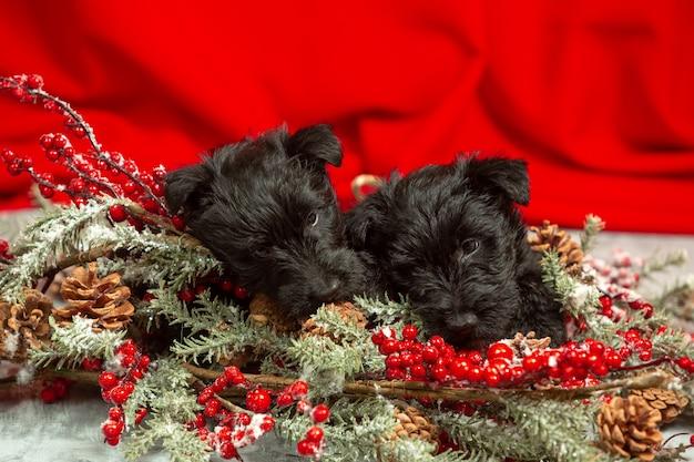 赤い壁にスコティッシュテリアの子犬