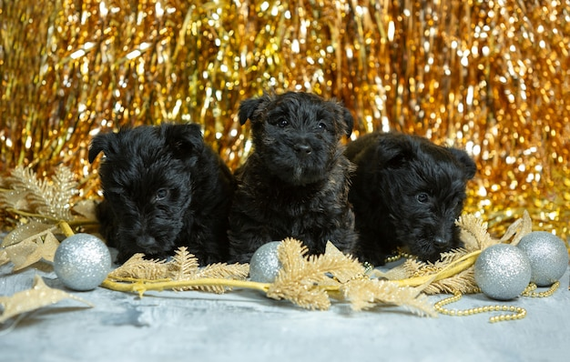 스코틀랜드 테리어 강아지 포즈. 크리스마스와 새해 장식을 가지고 노는 귀여운 검은 강아지 또는 애완 동물. 귀여워요. 휴일, 축제 시간, 겨울 분위기의 개념. 부정적인 공간.