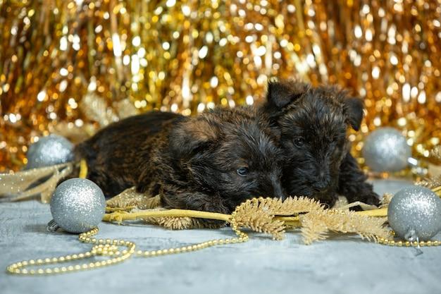 스코틀랜드 테리어 강아지 포즈. 크리스마스와 새해 장식을 가지고 노는 귀여운 검은 강아지 또는 애완 동물. 귀여워. 스튜디오 사진. 휴일, 축제 시간, 겨울 분위기의 개념. 부정적인 공간.