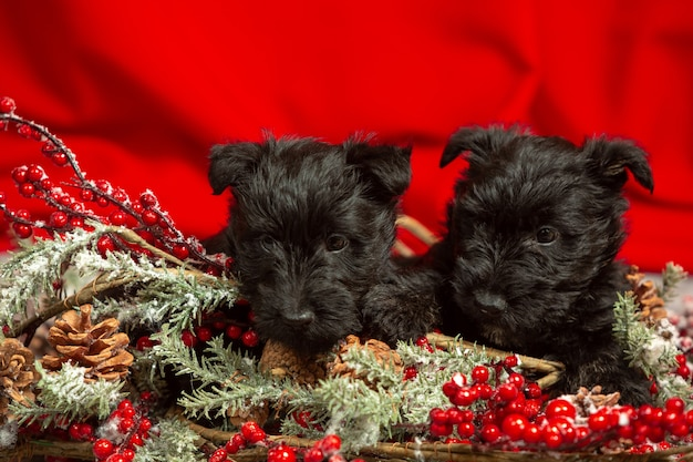 Scottish terrier puppies posing. cute black doggies or pets playing with christmas and new year decoration. look cute. concept of holidays, festive time, winter mood. negative space.