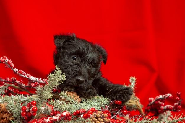 スコティッシュテリアの子犬のポーズ。クリスマスと新年の装飾で遊ぶかわいい黒い犬やペット。かわいく見えます。休日、お祭りの時間、冬の気分の概念。ネガティブスペース。