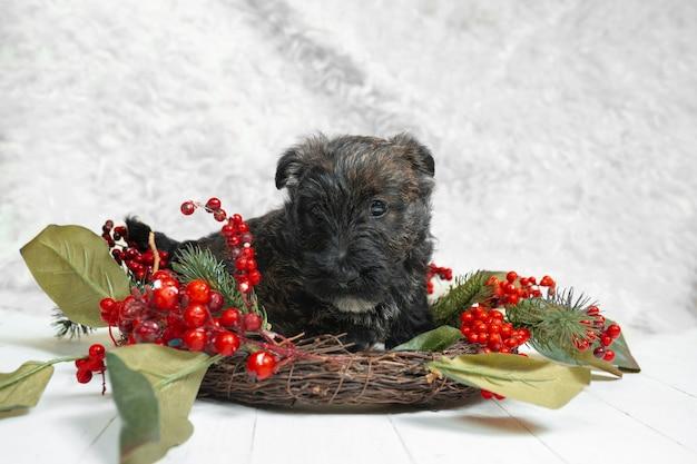 스코틀랜드 테리어 강아지 포즈. 귀여운 검은 강아지 또는 애완 동물 크리스마스와 새해 장식으로 연주. 귀여워요. 스튜디오 사진. 휴일, 축제 시간, 겨울 분위기의 개념. 부정적인 공간.