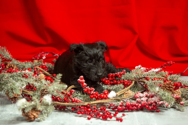 Scottish terrier puppy posing. cute black doggy or pet playing with christmas and new year decoration. looks cute. concept of holidays, festive time, winter mood. negative space.