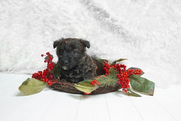 Posa del cucciolo di terrier scozzese. simpatico cagnolino nero o animale domestico che gioca con la decorazione di natale e capodanno. sembra carino. concetto di vacanze, tempo festivo, umore invernale. spazio negativo.
