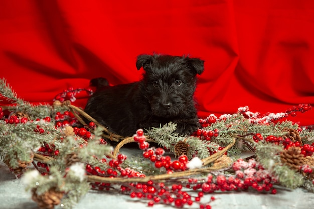 Scottish terrier puppy on red wall