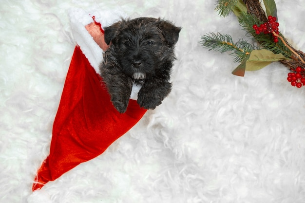 Scottish terrier puppy on white wall