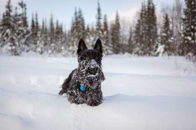 Scottish terrier in the snow.