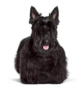 Scottish terrier standing against white background