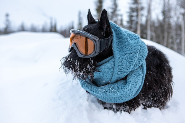 Scottish terrier with scarf and snow glasses in the snow.