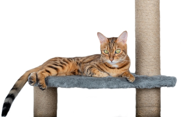 Scratching post and bengal cat lying on it isolated on white background